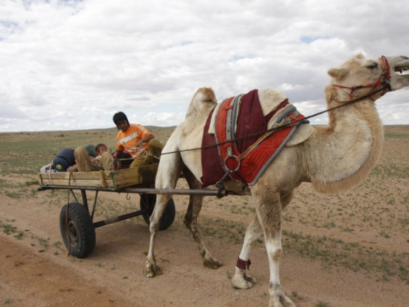 camel cart mongolia