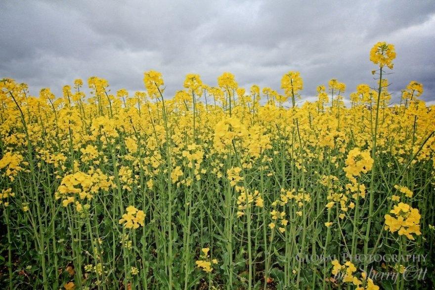 yellow flower fields