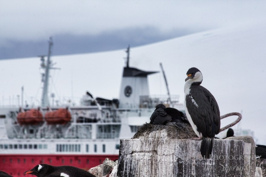 A Cormorant nesting in the Antarctic ocean