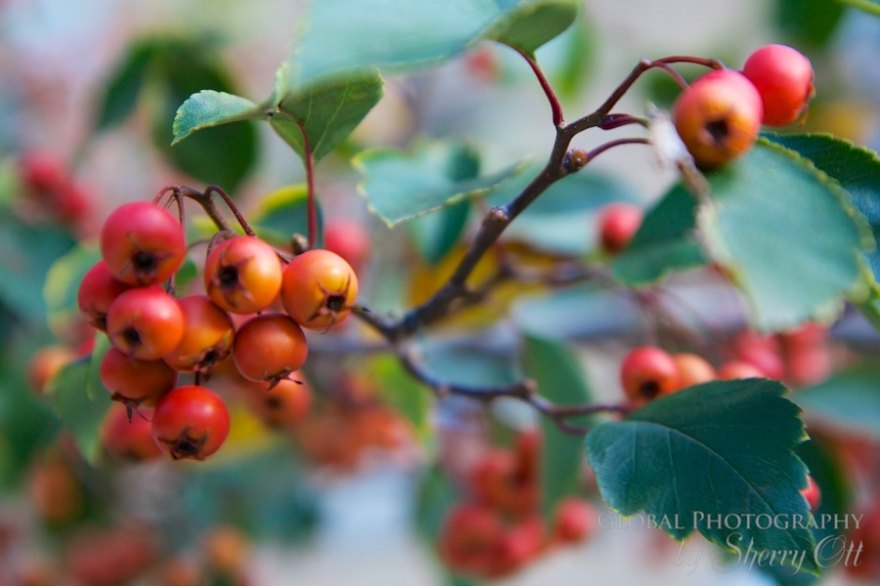 colorful berries inwood park