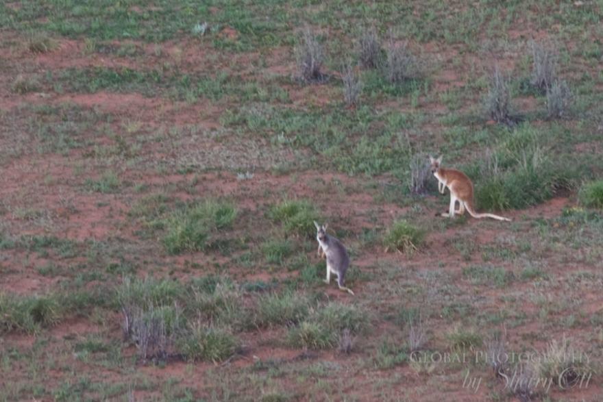 kangaroo outback