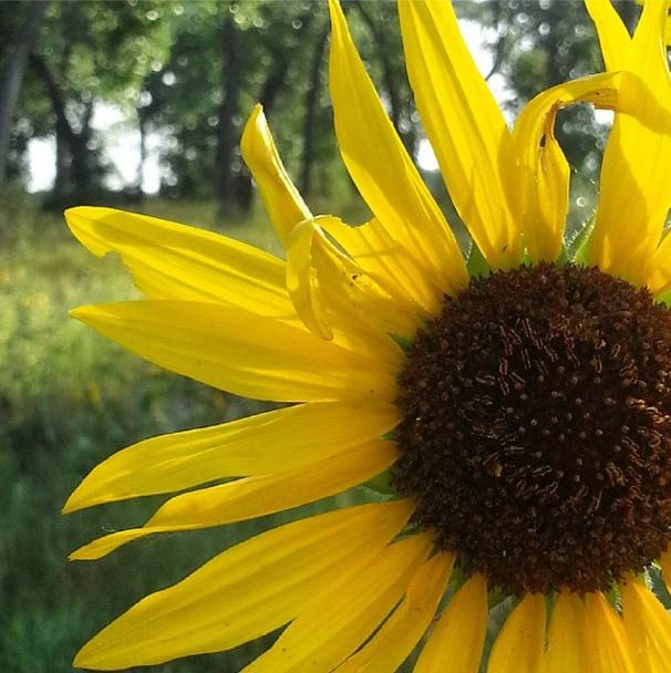 Wild Sunflowers South Dakota