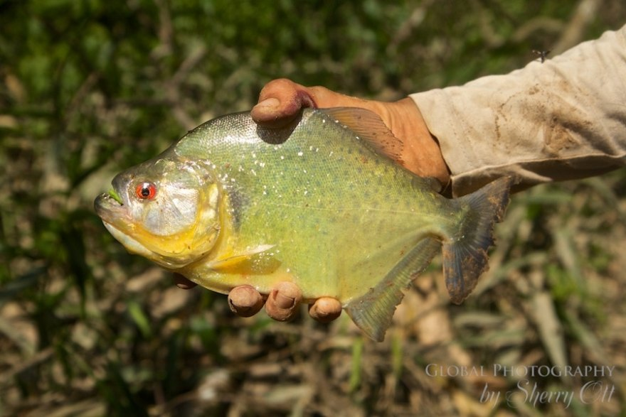 piranha amazon