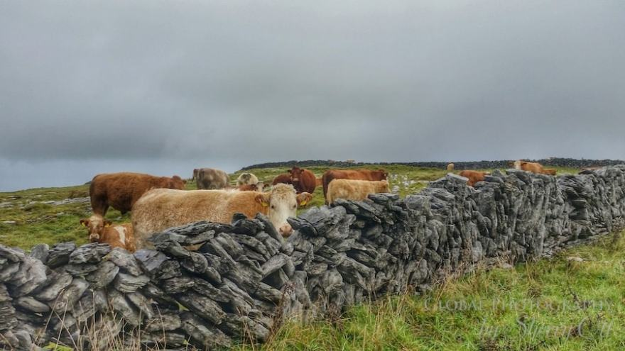 burren walking trail cows