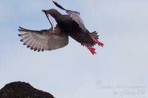 Bird watching Diomedes island Russia