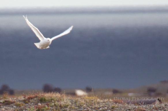 Bird watching wrangel island snowy owl