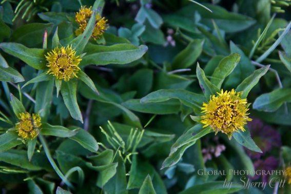 tundrra plants congested daisy