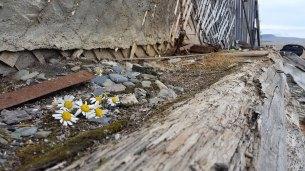 tundra plants daisy