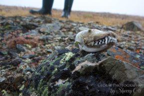 wrangel island tundra hiking
