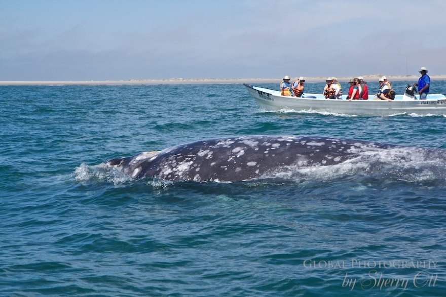 Gray Whale Migration viewing
