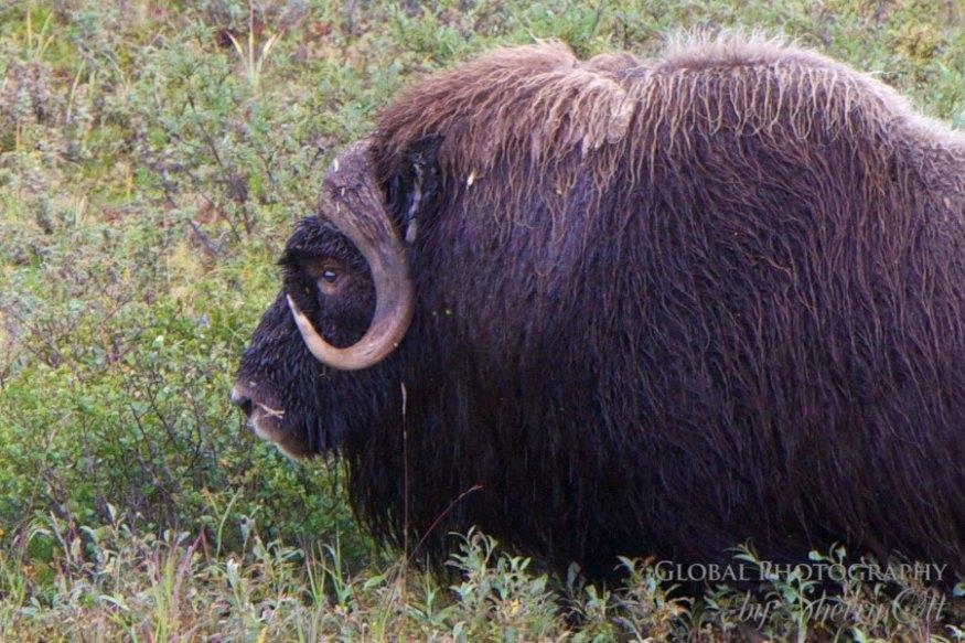 nome alaska muskoxen
