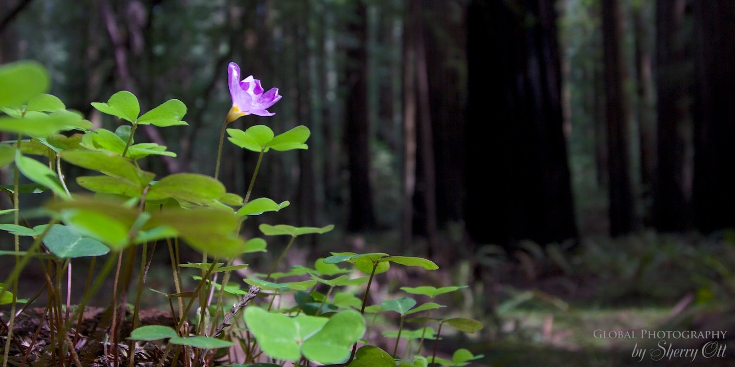 forest bathing redwoods national park