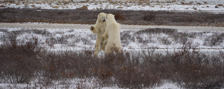 polar bear safari tundra buggy