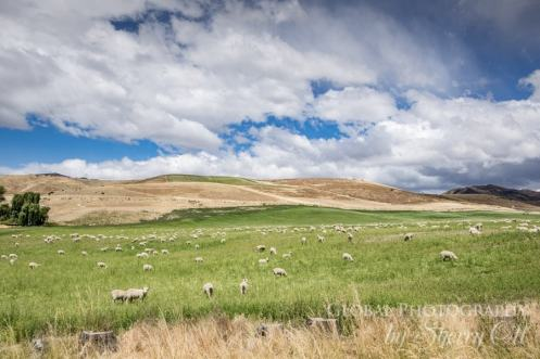 New Zealand Sheep farming