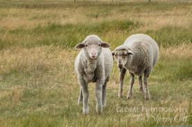 New Zealand Sheep farming