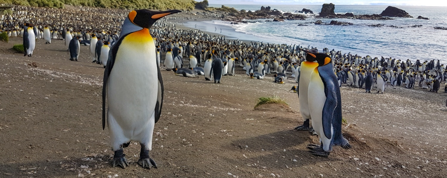 Macquarie Island king penguins