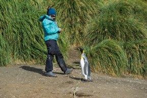 macquarie Island king penguin