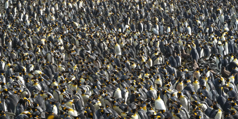 Macquarie Island king penguin colony