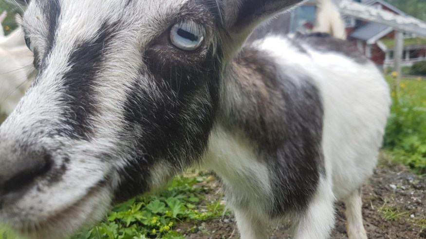 baby goats norway