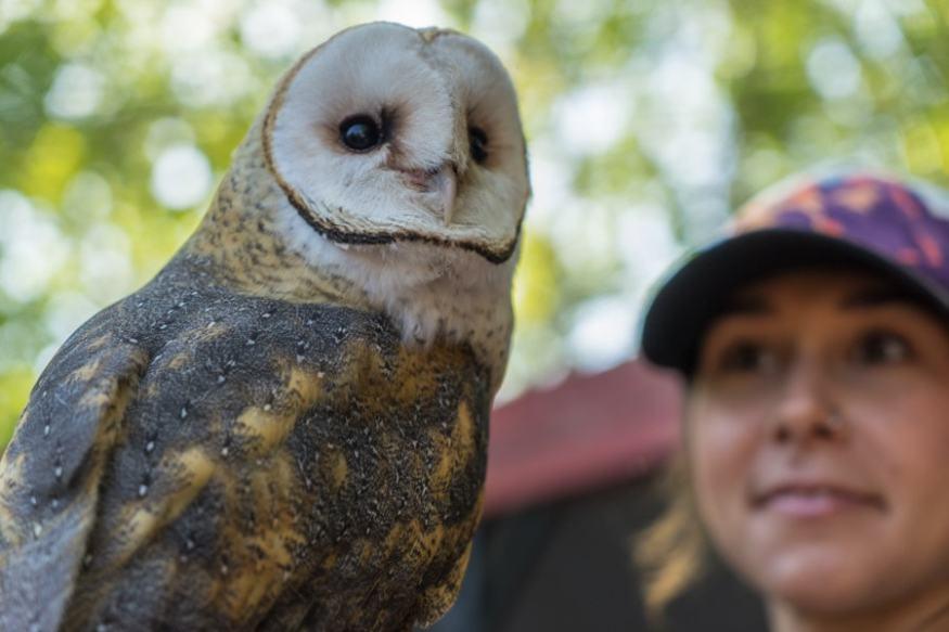 Alberta birds of prey barn owl