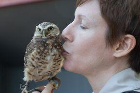 Alberta birds of prey burrowing owl