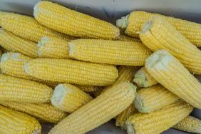 Canadian Badlands cornfest