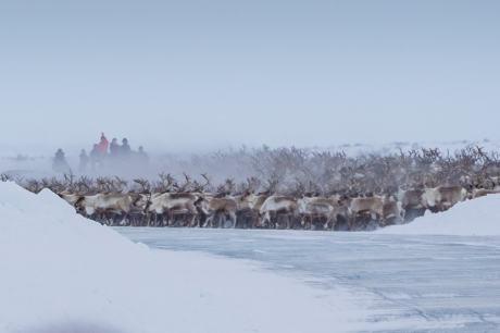 reindeer herding inuvik