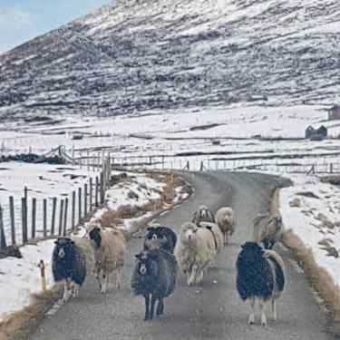 Faroe Islands sheep