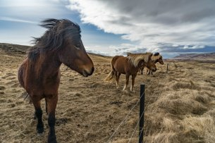 iceland stopover horse ride