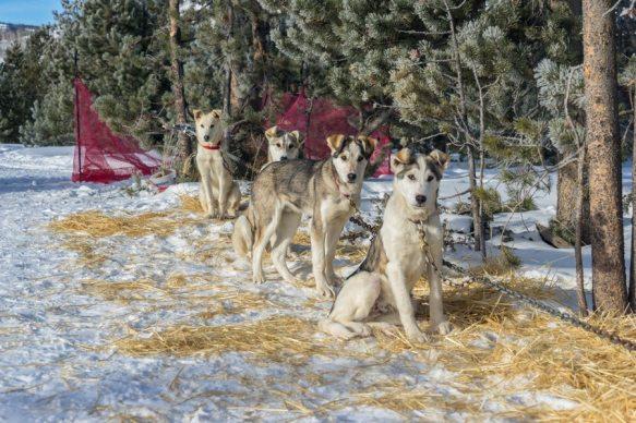 colorado dog sled puppies