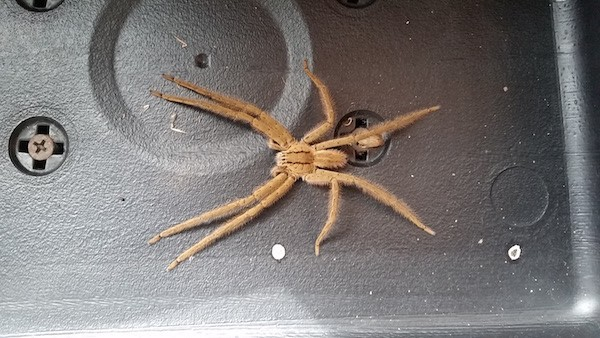 spider belize