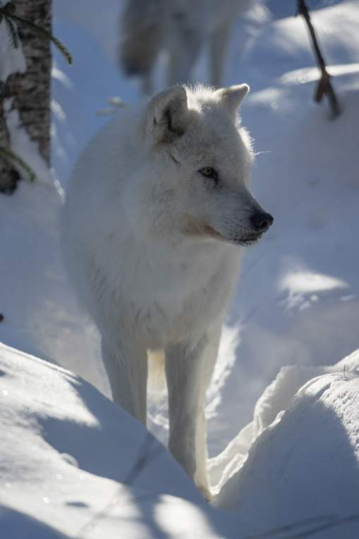 Wolf experince winter quebec