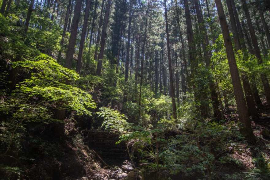 Kumano Kodo trees