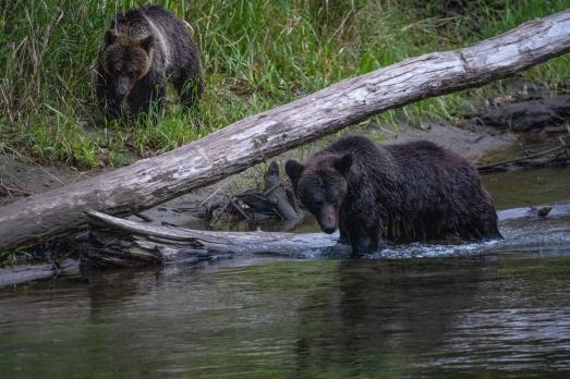 Grizzly Bears Bella Coola-08136