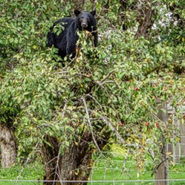 black bear bella coola