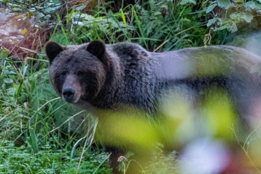 observation d'ours grizzli