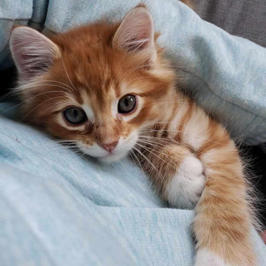 foster kitten denver