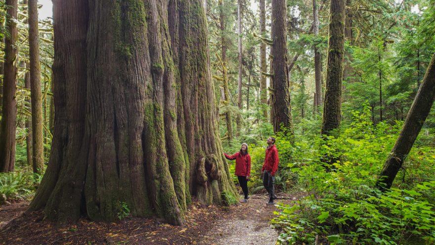 big cedar tree great bear rainforest