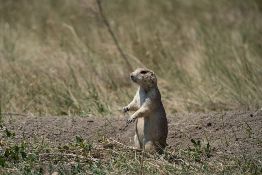 South dakota prairie dog