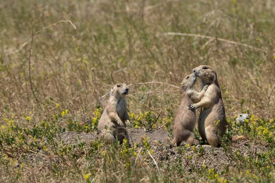 South dakota prairie dogs hugging