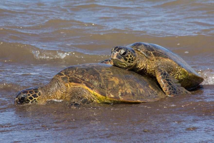 sea turtles mating lanai