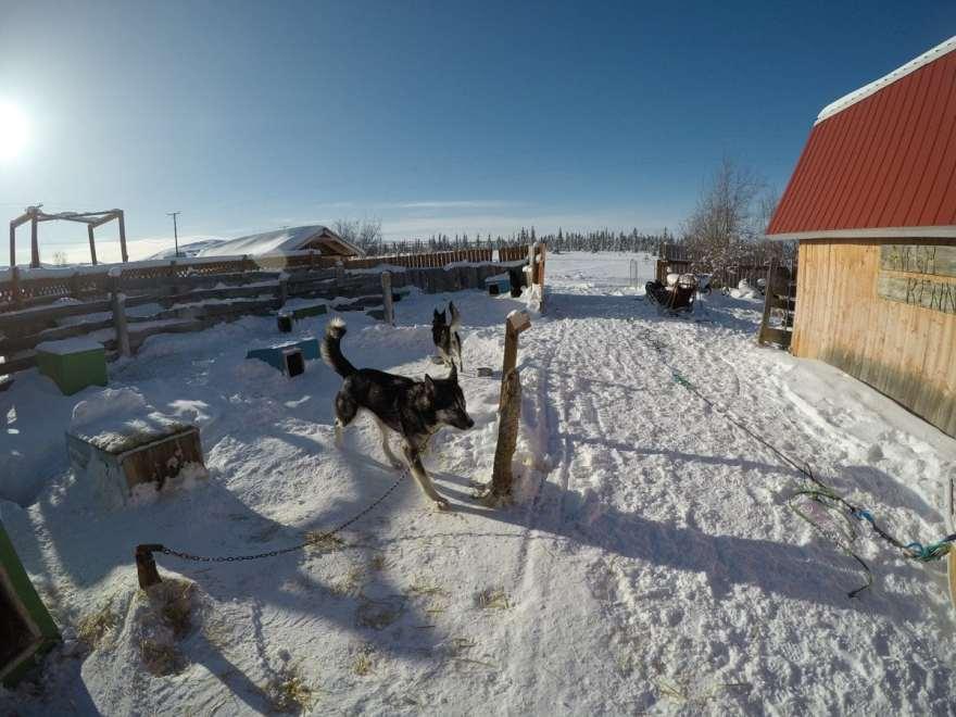 alaska sled dog kennels
