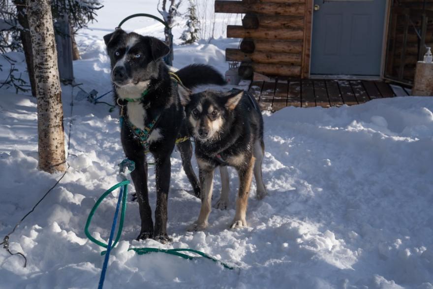 alaska sled dog types