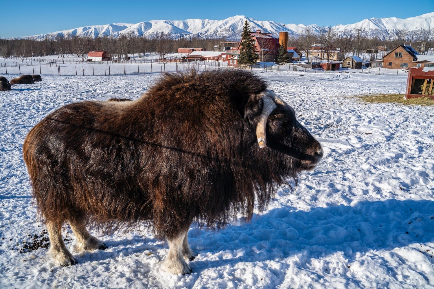 see a muskox up close