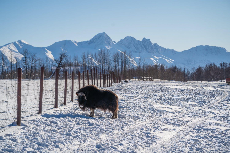 muskox farm anchorage alaska