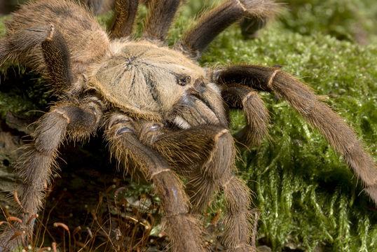 Chinese-Bird-Spider-cinli-kus-oruncegi