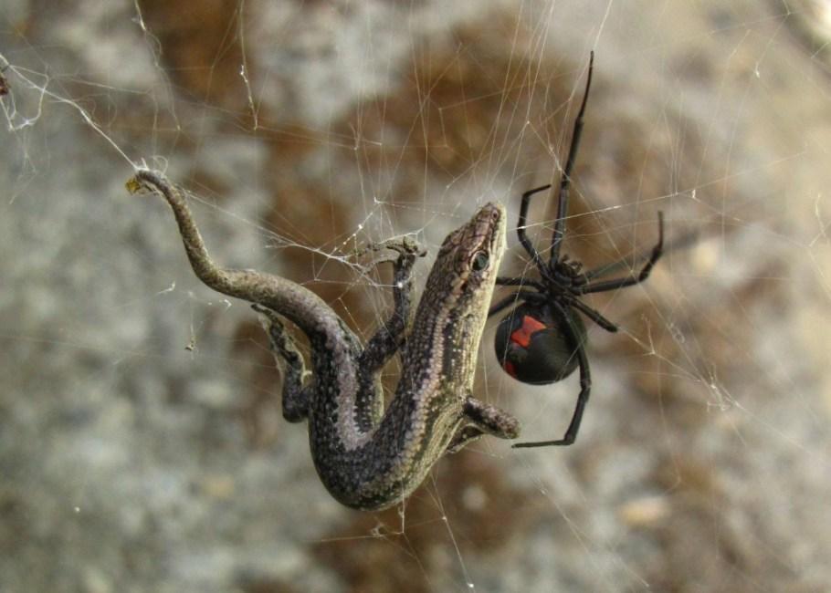 Redback-Spider-Latrodectus hasseltii
