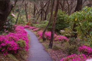 Rhododendron Society of NSW
