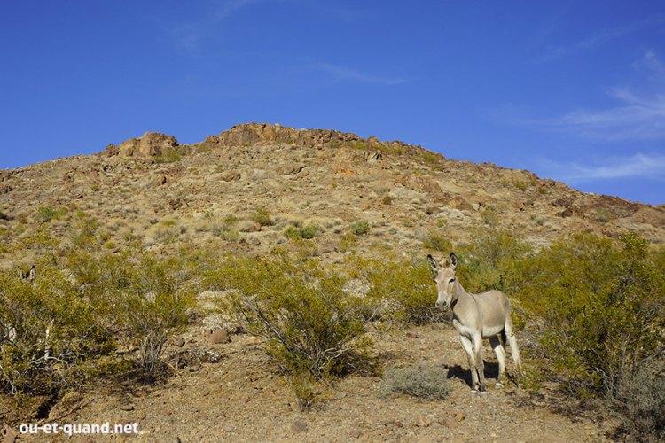 Une mule sur la route 66 en Arizona (près de oatman)