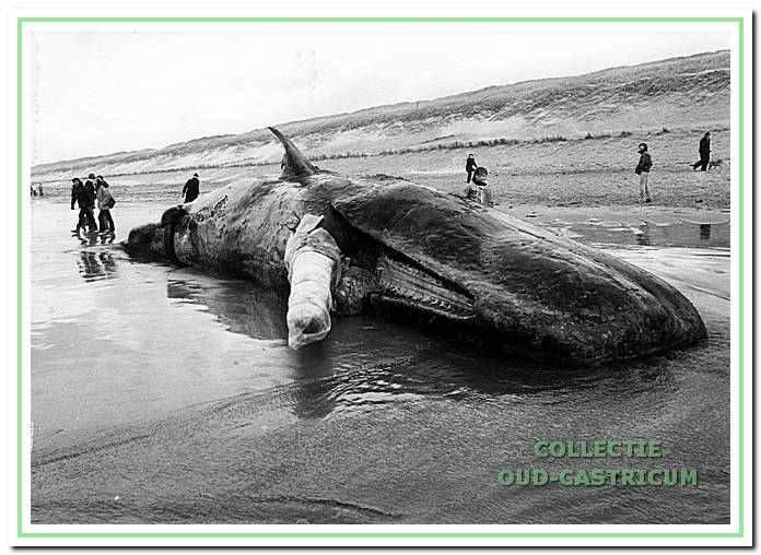 Een mannelijke potvis op de grens van Egmond en Castricum op het strand geworpen.